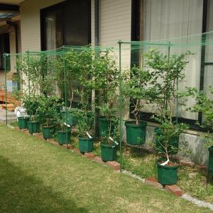 鉢植えブルーベリー簡易防鳥網設置