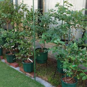 鉢植えブルーベリーの実付き