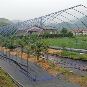 露地植えブルーベリー防鳥網設置 その2 (防鳥網展開)