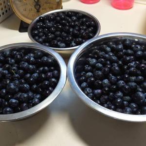 露地植えRE系ブルーベリーのジャム用果実