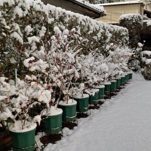 2021正月 鉢植えブルーベリーの冠雪 at 広島市