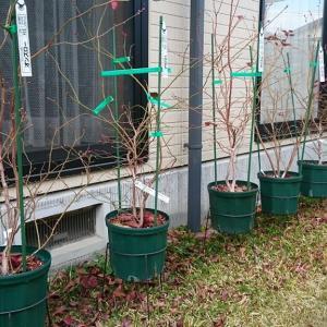 2018年購入鉢植えブルーベリーの初回剪定