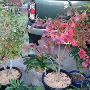 ブルーベリー鉢から畑への植え替え(その2) in 周南市
