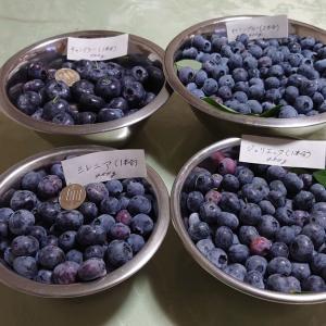 2021 鉢植えブルーベリーの収穫 (その1)