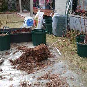 ブルーベリーの鉢増しと施肥 in 広島市