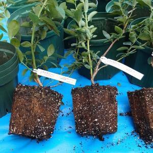 3年生苗の鉢植替え