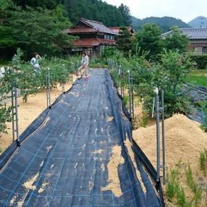 露地植えブルーベリー果実の成熟 in 周南市