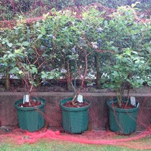 鉢植えブルーベリー果実の成熟 in 広島市