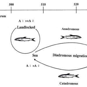 魚類の行動研究論文集の抄録 Changes in Scotopic Spectral Sensitivity of Ayu Plecoglossus altivelis
