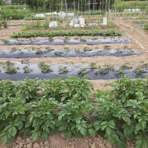 野菜作り 2021.6.19