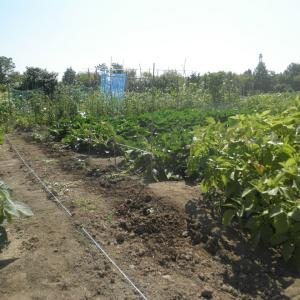 野菜作り 2021.7.26