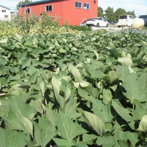 野菜作り 2021.7.31
