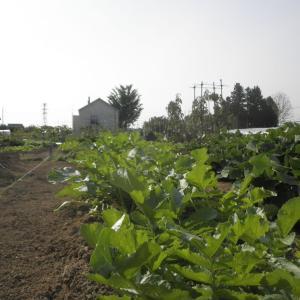 野菜作り 2021.9.16