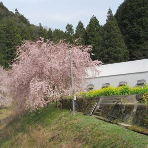 徳島県 国道438号<シダレサクラ街道>NO3