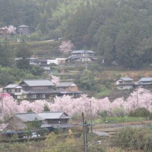 Tokushima in シダレサクラの里 神山町