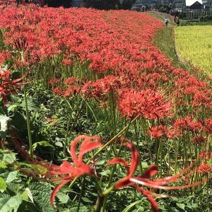 四国の里山を飾る曼珠沙華の花 in 星谷運動公園