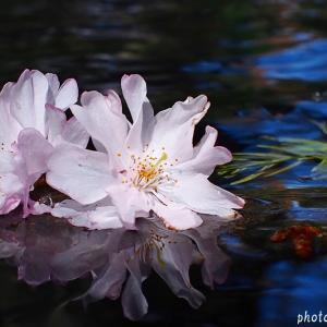 名曲百選第五章(22)桜 最終章・・・越えてゆけと叫ぶ声が ゆくてを照らすよ