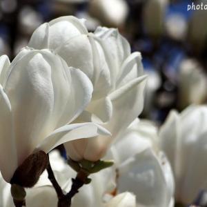 名曲百選第五章(23)あなたを探している  あなたを呼んでいる・・・木蓮の花に偲ぶ想い