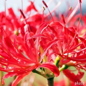 名曲百選第五章(45)情熱的な赤い花と振られ歌