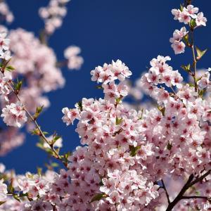 名曲百選第四章(71)満開の桜は平成の最後を飾るかのように美しかった・・・
