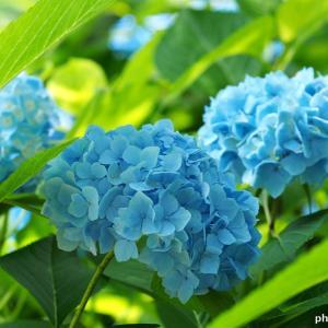 名曲百選第四章(82)紫陽花の花の色が変わってゆくように、だんだん好きになり、だんだん恋になる