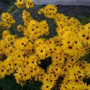 台風に白と黄色の花が咲く