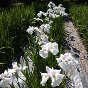 「春氷」初夏と春とを結ぶ花
