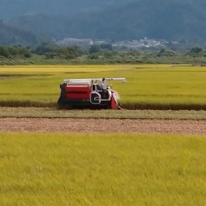 確実に秋は深まる稲を刈る
