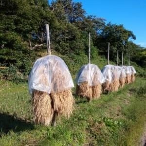 秋の田に道行きコート着た美人