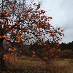 柿花火あちこち上がる過疎の村