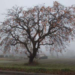朝霧に尺玉上がる柿花火