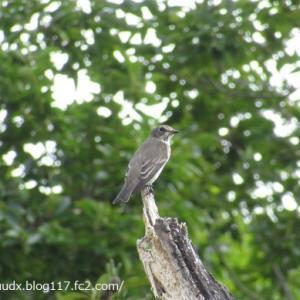 シジュウカラ、キビタキ、アカボシゴマダラ、ギンヤンマ、ハラビロカマキリに会いました【荒川自然公園】