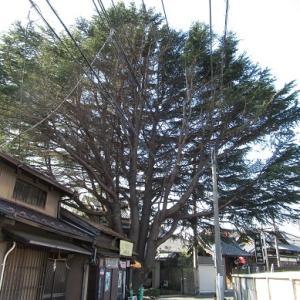谷中のヒマラヤ杉!【谷中をお散歩その1】