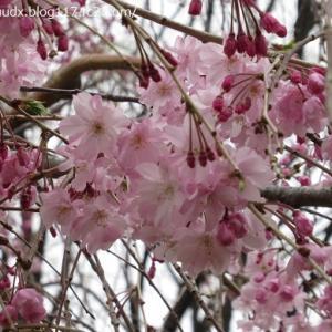 見頃の桜、土管ネコ!冬鳥の皆さん【尾久の原公園、北側スーパー堤防】