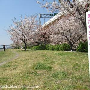 河岸のヨシ原・干潟の再生工事、五色桜の散歩みち、本木ワンドを発見!【荒川河川敷(扇大橋の右岸~西新井橋の左岸)】