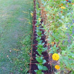 ジニアの植え替えと種まき
