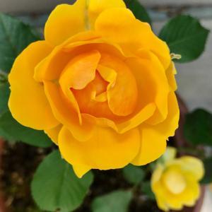 バラのシーズンを楽しみたい🌹