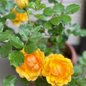バラの季節はバラを楽しまなくちゃ③コンフィチュール試作