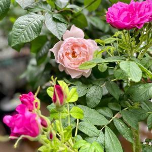 バラの季節はバラを楽しまなくちゃ④バリエーションを広げたい