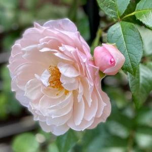 バラの季節はバラを楽しまなくちゃ⑤バラパウダー