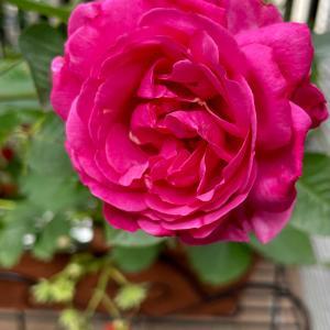 6月2日は Rose Day🌹ローズの日🌹①