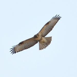 モエレのノスリとハイタカ 11/21 小鳥の姿は見えないのですが・・・