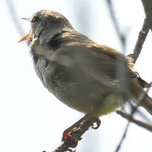 モエレの鳥たち 6/5 ウグイス通信ー⑧ 追いかけてウグイス・・・どこまで行っても逆光