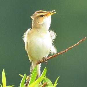 モエレの鳥たち 6/5 カッコウは良く鳴きよく動く・・・