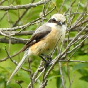 モエレの鳥たち 7/11 バンの幼鳥は7羽確認 下の橋エリア