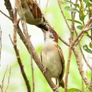 モエレの鳥たち 7/24 エサを貰うスズメの幼鳥 他