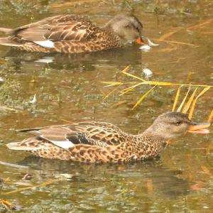 モエレの鳥たち 10/27 雨降りの中 集中を欠きますが…