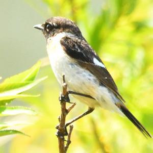 モエレの鳥たち 6/10 夏の暑さのモエレ カンムリカイツブリもいました