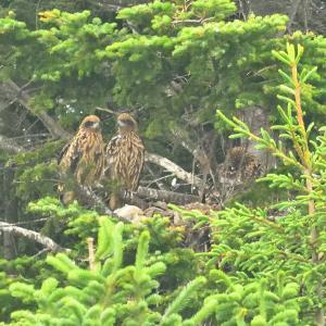 モエレの鳥たち 6/19 トビの幼鳥は3羽いました