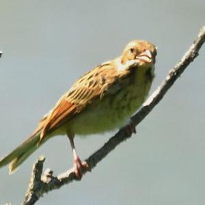 モエレの鳥たち 7/17 ノビタキ街道 幼鳥がたくさん出てきました